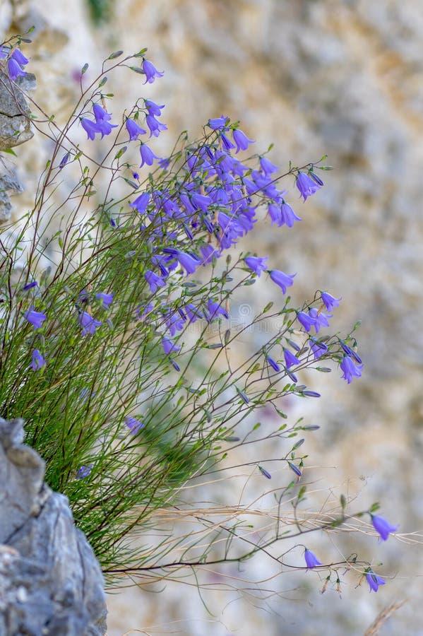 Rotundifolia van het grasklokjesklokje het groeien op klip royalty-vrije stock afbeelding