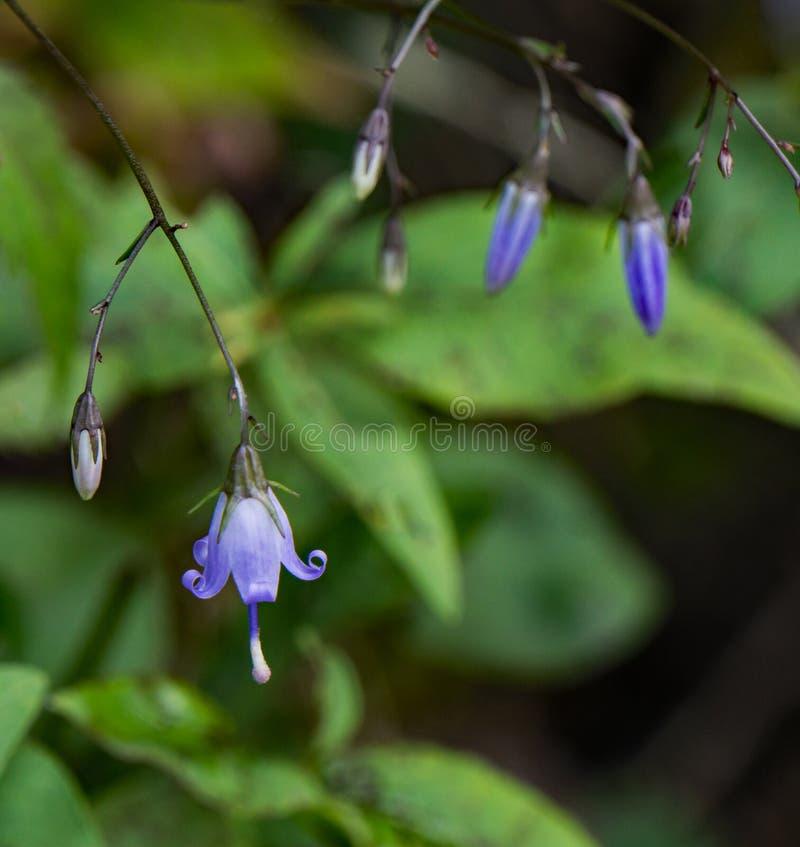 "Rotundufolia campânula do †da campânula da "" fotografia de stock royalty free"