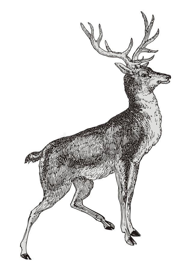 Rotwild stock abbildung