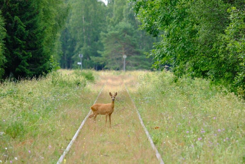 Rotwild auf den alten Eisenbahnlinien in Schweden stockfoto