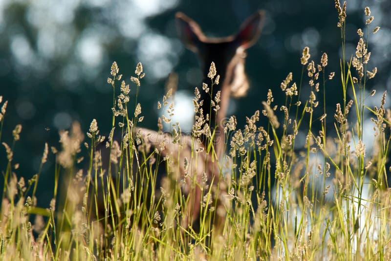 Rotwild auf einem grünen Feld am Morgen stockfotos