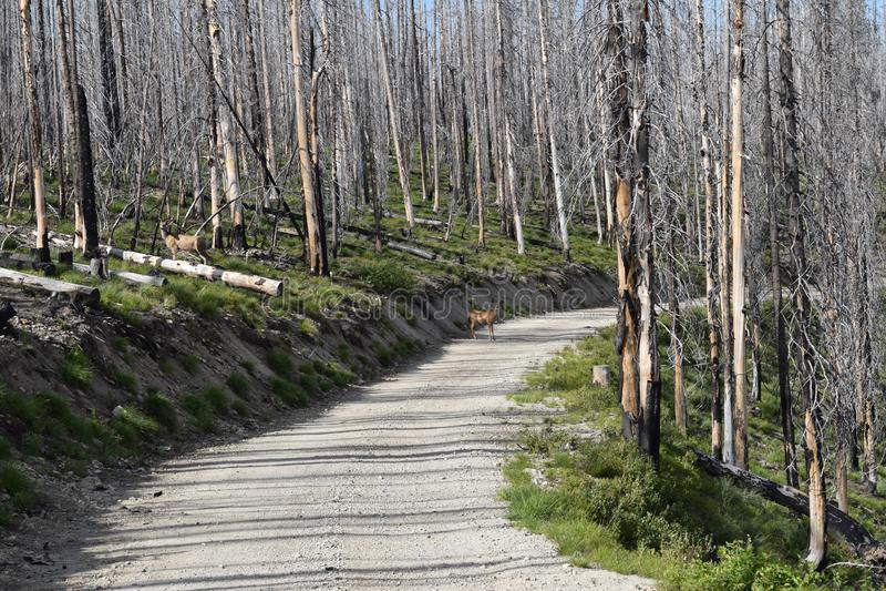 Rotwild auf Straße im Wald nach verheerendem Feuer lizenzfreie stockbilder