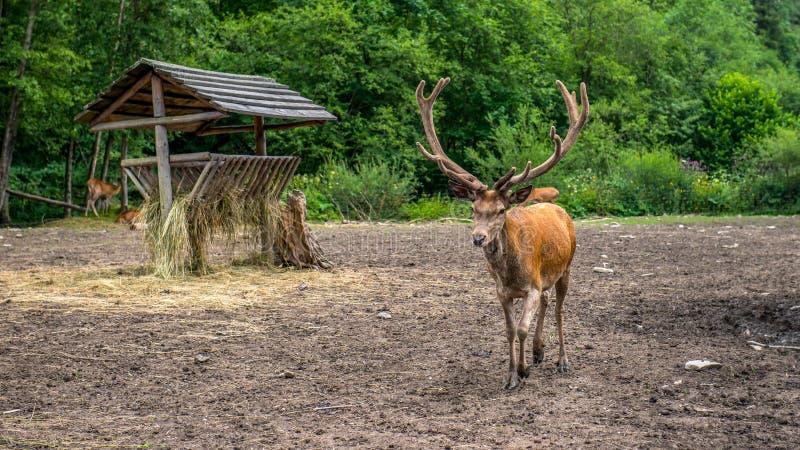 Rotwild - der König von polnischen Wäldern nahe der Weide lizenzfreie stockbilder