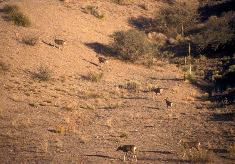 Rotwild in der Wüste stockfotografie