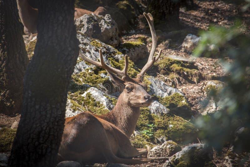 Rotwild in der Wildnis, Nationalpark Majella, Abruzzo, Italien stockbilder