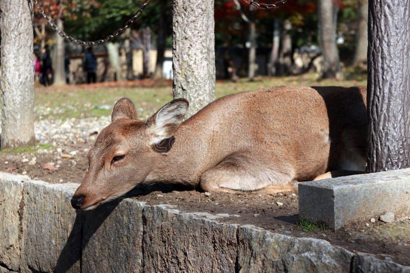Rotwild, die auf dem Boden mit Sonnenlicht am Park in Nara, Japan niederlegen stockfoto
