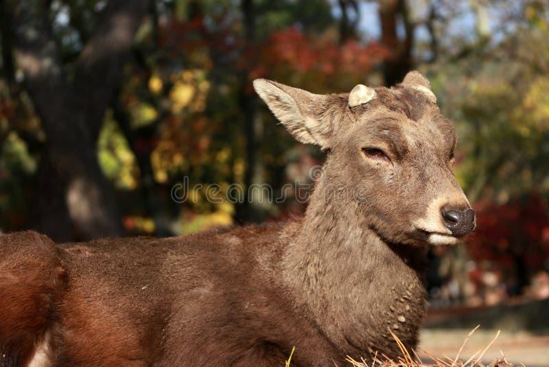 Rotwild, die auf dem Boden- und Hintergrundherbstbaum am Park in Nara, Japan niederlegen stockfotos