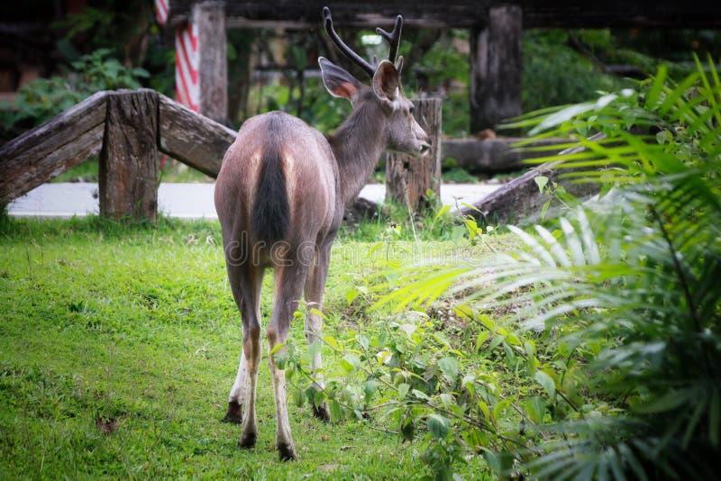 Rotwild, die das Gras im khaoyai Nationalpark, Thailand essen stockfotos
