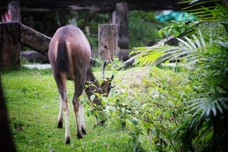 Rotwild, die das Gras im khaoyai Nationalpark, Thailand essen lizenzfreie stockfotografie