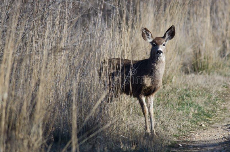 Rotwild, die heraus von großen Marsh Grass treten stockfoto