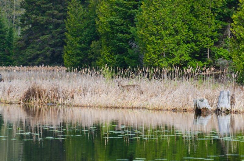 Rotwild, die von der Seite von See anstarren stockbild