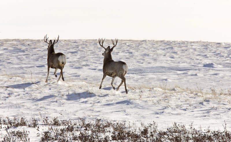 Rotwild-Dollar im Winter lizenzfreie stockfotografie
