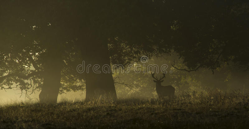 Rotwild an einem nebelhaften Morgen lizenzfreies stockbild