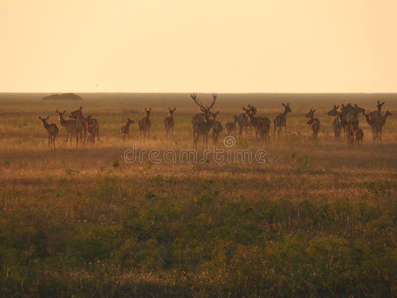 Rotwild ` Herde stockbild
