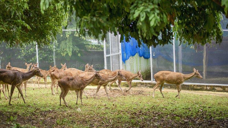 Rotwild-Herde, gruppiert, schlendernd in Zoo stockbild