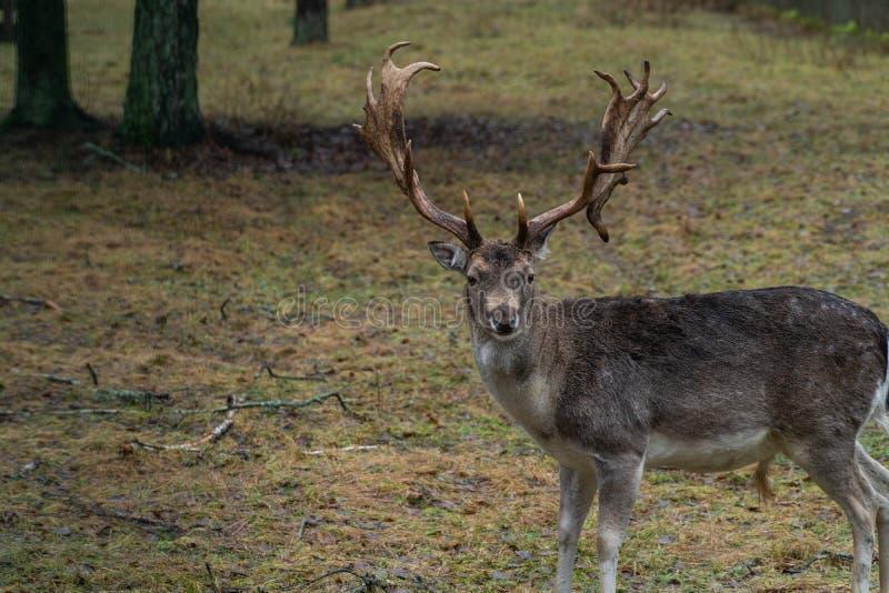 Rotwild im wilden im Wald stockfotos