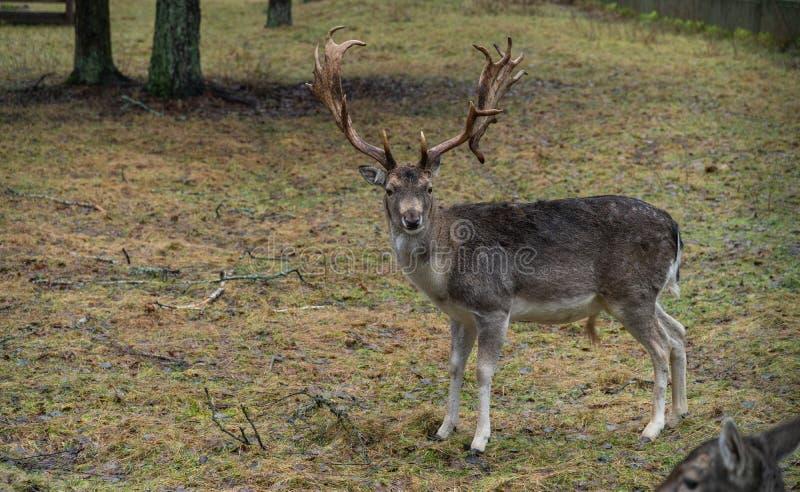 Rotwild im wilden im Wald stockfoto