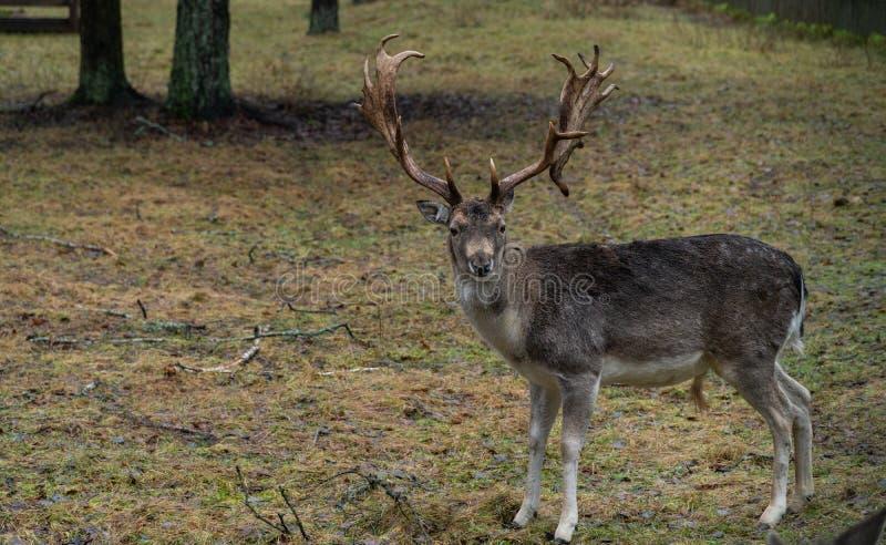 Rotwild im wilden im Wald stockfotografie