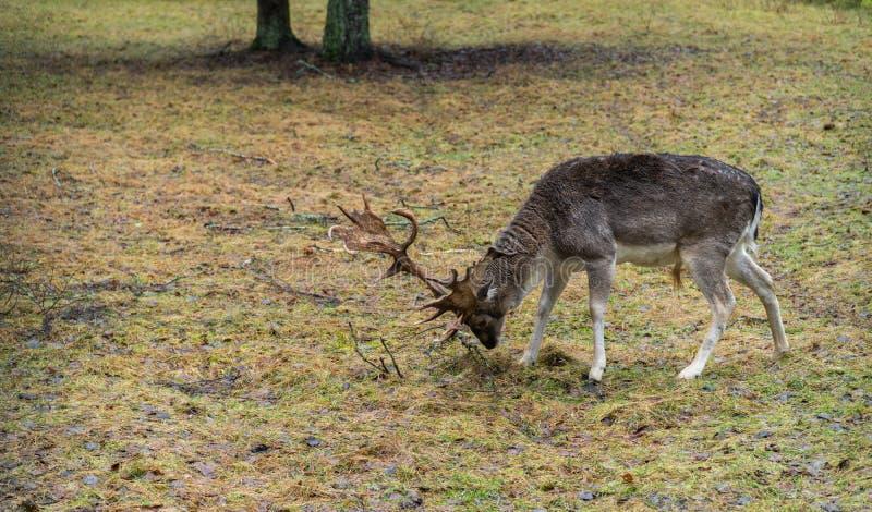 Rotwild im wilden im Wald lizenzfreies stockbild