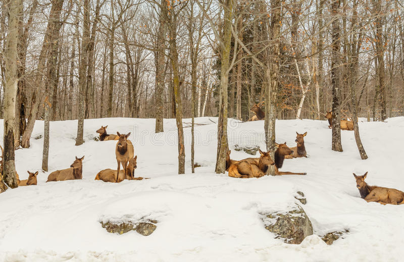 Rotwild im Winter (Omega-Park von Quebec) lizenzfreies stockbild