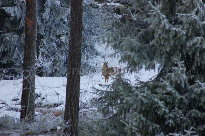 Rotwild im Winterwald stockfotografie