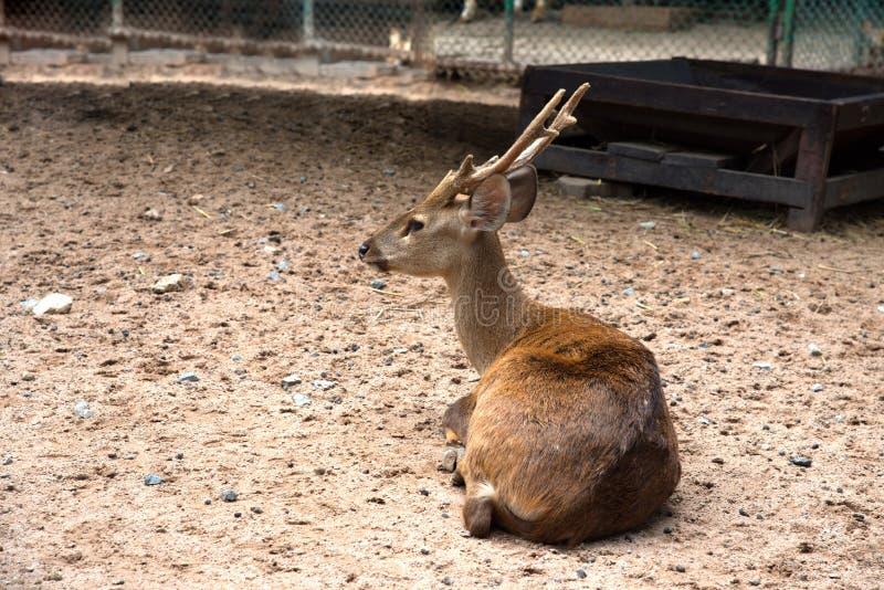 Rotwild im Zoo stockfoto