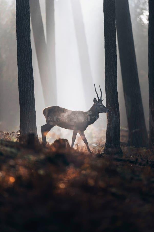 Rotwild mit den spitzen Geweihen, die in nebelhaften Herbstkiefernwald gehen stockfotografie