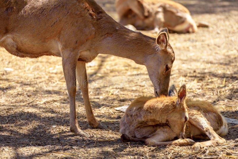 Rotwild mit ihrem neugeborenen kleinen Kitz stockfotos
