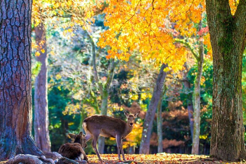 Rotwild nahe Todaiji-Tempel in Nara, Japan stockfoto