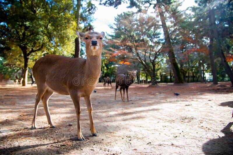 Rotwild-Nationalpark in Kofuku-ji, Nara, Japan Es ist über Sie kann Reiscracker einziehen den wilden Rotwild populär In der Somme stockfoto