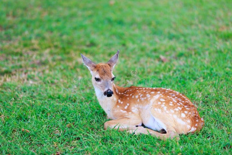 Rotwild schmeicheln sich beim Gras ein stockbild