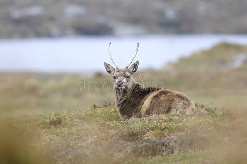 Rotwild in Schottland stockfotos