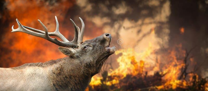 Rotwild steht in brennendem Wald lizenzfreies stockbild