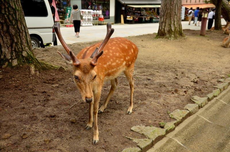 Rotwild an Todai-jitempel in Nara Japan lizenzfreies stockfoto