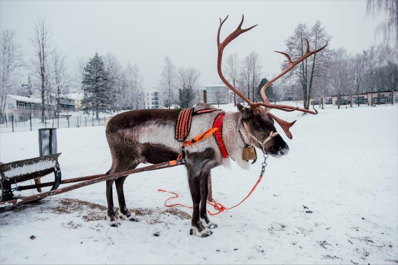 Rotwild und Schlitten in Finnland lizenzfreies stockfoto