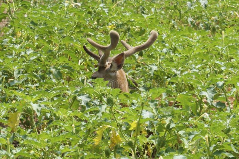 Rotwild versteckt unter den Blättern stockfotos