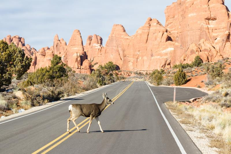 Rotwild, welche die Straße kreuzen stockfoto