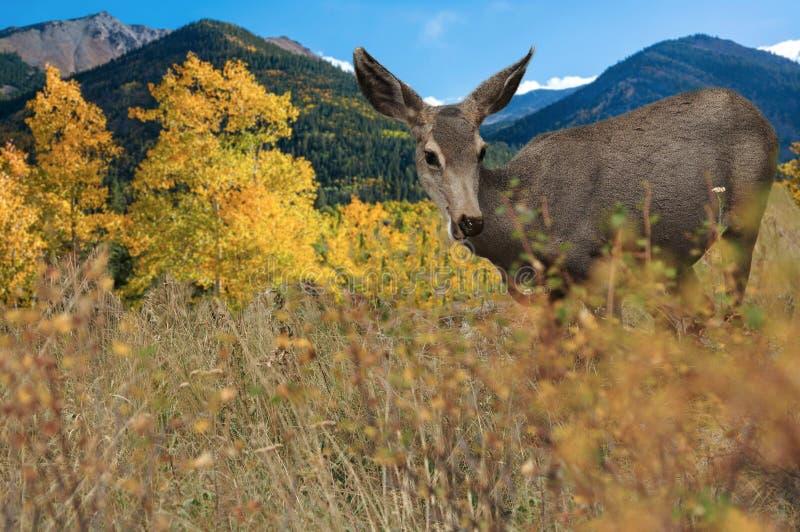 Rotwilddamhirschkuh, die auf dem Gebiet mit goldener Espe während Colorado-Berge Farben des Fallherbstes ändernder weiden lässt stockfotografie