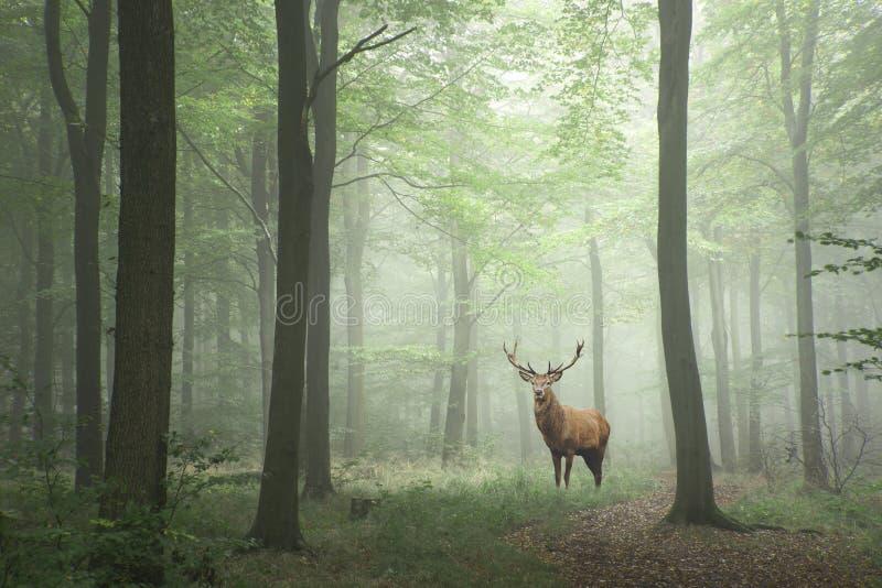 Rotwildhirsch in den nebeligen Vorderteilen des üppigen grünen Märchenwachstums-Konzeptes lizenzfreie stockbilder