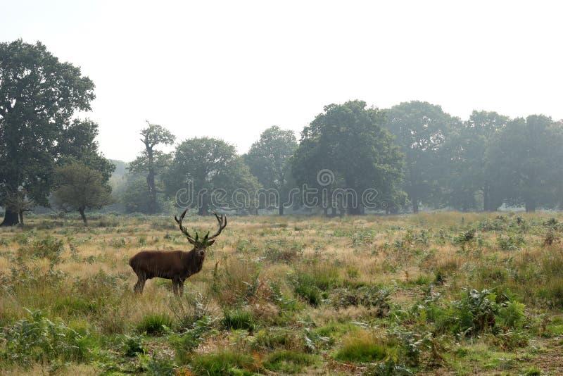Rotwildhirsch in der Herbstlandschaft lizenzfreies stockfoto