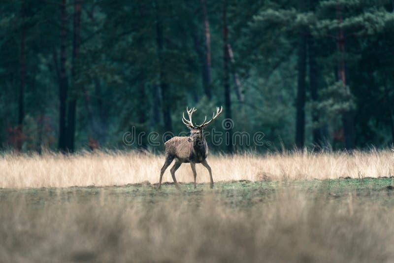 Rotwildhirsch, der mit den Beinen breit in der Waldwiese steht eingebürgert lizenzfreie stockbilder