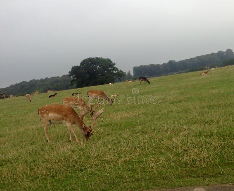 Rotwilds, das auf klarem grünem Gras weiden lässt stockbilder
