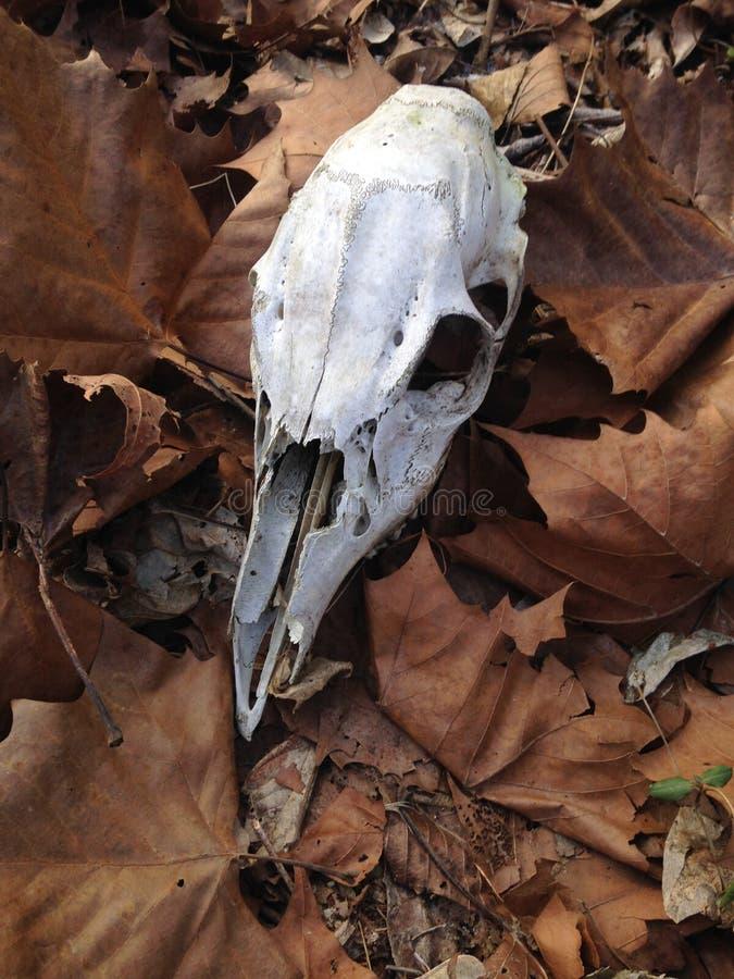 Rotwildschädel unter Blättern lizenzfreie stockfotografie