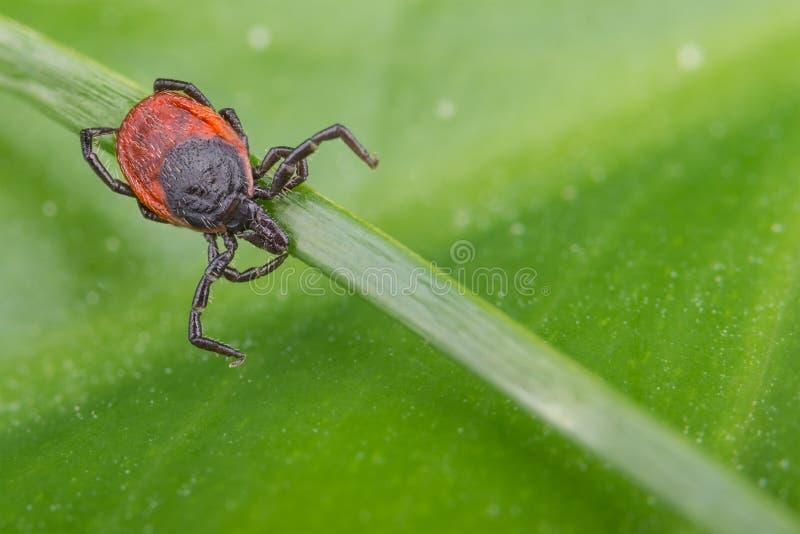Rotwildzecke, die auf einem Grasstamm lauert Ixodes Ricinus stockfotografie
