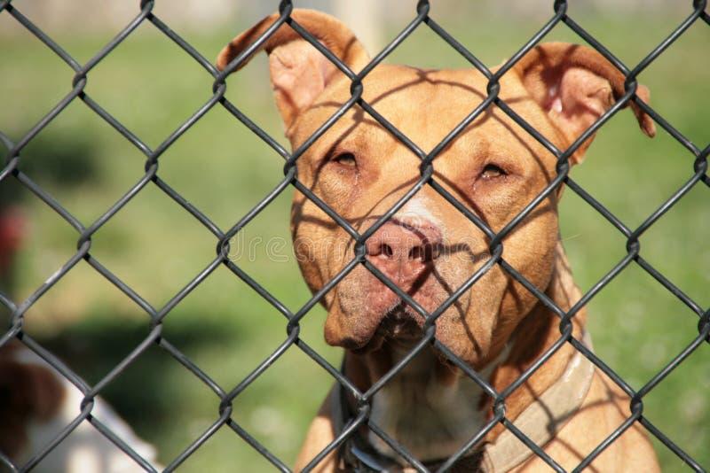 Rotwilerhond achter een omheining stock afbeelding