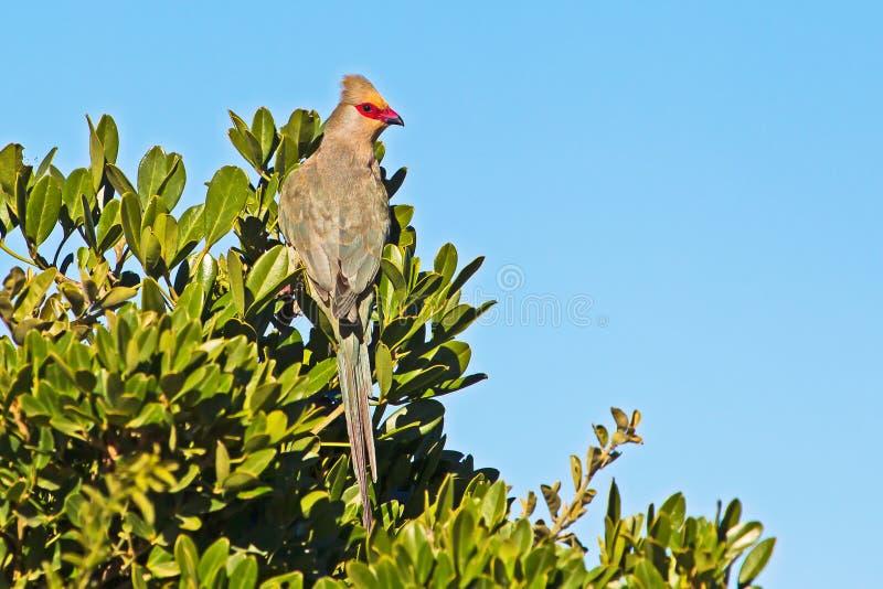 Rotzügel-Mausvogel auf Baum im Nationalpark lizenzfreie stockfotos