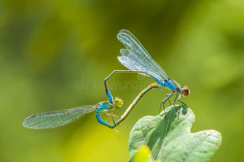 Roue de accouplement en forme de coeur par un mâle et un petit viridulum aux yeux rouges femelle d'Erythromma de damselfly images libres de droits