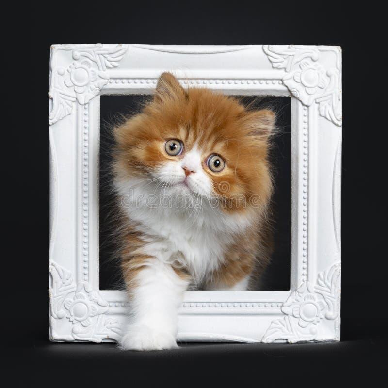Rouge avec le chaton à cheveux longs britannique blanc sur le noir image stock