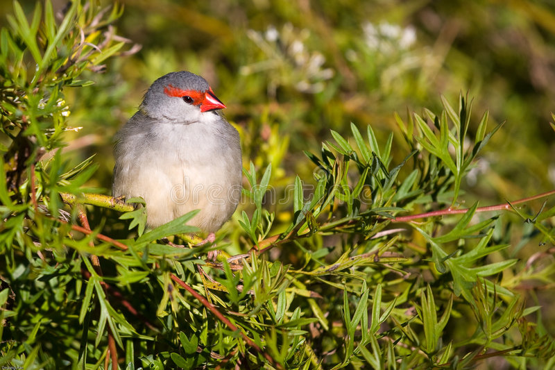 rouge browed de pinson photographie stock