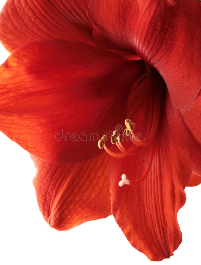 rouge d'amaryllis image libre de droits